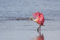 Roseate Spoonbill, J.N. Ding Darling National Wildlife Refug Royalty Free Stock Photo