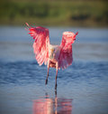 Roseate spoonbill landing with wings spread and feathers fluffy like paper Royalty Free Stock Image