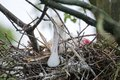 Roseate spoonbill on nest a platelea ajaja sitting a in spring Stock Photo
