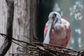 Roseate spoonbill north american shown here in its nest Stock Photography