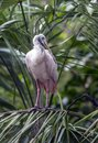 Roseate spoonbill platalea ajaja or ajaia ajaja long legged wading birds Royalty Free Stock Photos