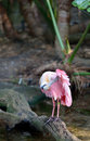 Roseate spoonbill platalea ajaja cleaning itself preening feathers under wing Royalty Free Stock Photo