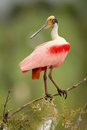 Roseate spoonbill (Platalea ajaja) perched on a branch Stock Image