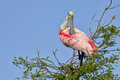 Roseate spoonbill a preening itself at the top of a tree Stock Photo