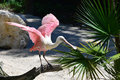 A roseate spoonbill prepares to takeoff the has striking bright pink feathers the bird is an elegant flier and is frequently seen Stock Photo