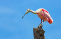 Roseate spoonbill on tree trunk a perches a in st augustine florida this odd wading bird causes many a tourist to think they have Royalty Free Stock Photography