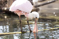 Roseate spoonbill on the trunk in water Royalty Free Stock Images