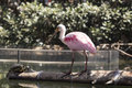 Roseate spoonbill on the trunk in water Stock Images