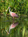 Roseate spoonbill wading in water florida wetlands Stock Images