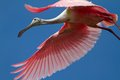 Roseate spoonbill young learning to fly leap of faith and courage Stock Photos