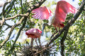 Roseate spoonbills nesting a spoonbill looks for material Royalty Free Stock Images