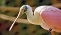 Roseate spoonbillwith copy space a portrait of a spoonbill almost as flamingo these s beautiful wading birds can be seen in inland Royalty Free Stock Images