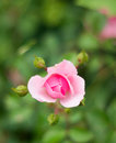 Rosebud pretty in the grass Stock Photography