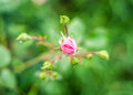 Rosebud pretty in the grass Stock Images