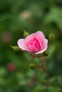 Rosebud pretty in the grass Royalty Free Stock Images