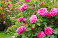 Rosebush Royalty Free Stock Photo