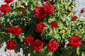 Rosebush with red roses Royalty Free Stock Photo