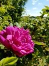 Rosegarden Royalty Free Stock Photo
