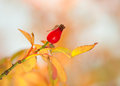 Rosehip in autumn with bisque colour background Stock Photo
