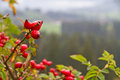 Rosehip in autumn natural red Stock Image