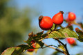 Rosehip berries on a beautiful background blue sky Royalty Free Stock Photography