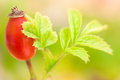Rosehip berries with green leaves Stock Photo