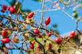 Rosehip berries on the twig natural autumn seasonal background Stock Photo