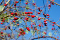 Rosehip berries on the twig natural autumn seasonal background Royalty Free Stock Photos