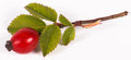 Rosehip berry and leaves Royalty Free Stock Photo