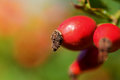 Rosehip closeup image of a red in the nature Royalty Free Stock Photo