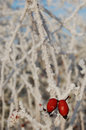 Rosehip on a frozen branch covered with ice crystals in winter Stock Photography