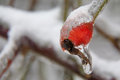 Rosehip frozen rose and ice Stock Photography