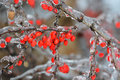 Rosehip in ice frozen covered by winter season Royalty Free Stock Photography