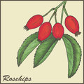 Rosehips Stock Photos