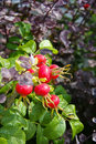 Rosehips in autumn Stock Images