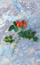 Rosehips example of and rosehip plant leaves Stock Photography
