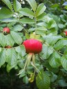 Rosehips ripe fruit of wild rose in green leaves in summer Stock Image
