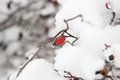 Rosehips snow on a photo Royalty Free Stock Photos