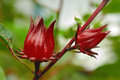 Roselle Flowers Royalty Free Stock Image