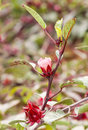 The roselle hibiscus sabdariffa is a species of native to tropics Royalty Free Stock Photography