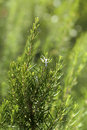Rosemary aromatic  culinary herb in nature Stock Photography