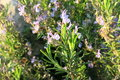 Rosemary as medicinal plant has been known since ancient Stock Photos