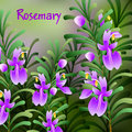 Rosemary background. Useful green herbs. delicious seasoning. tasty flavoring for food. Vector