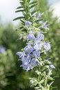 Rosemary blooming plant in springtime Stock Photo