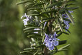 Rosemary blossom in herb garden closeup detail color Royalty Free Stock Photo