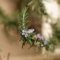 Rosemary flower Royalty Free Stock Photo