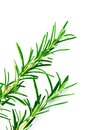 Rosemary fresh green sprigs over white background Royalty Free Stock Photo