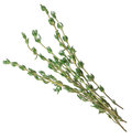 Rosemary herb closeup isolated on white background Royalty Free Stock Photo