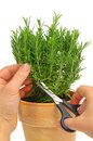 Rosemary isolated Royalty Free Stock Photo