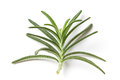 Rosemary leafs picture of a isolated on white Stock Photos
